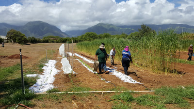 Maui AgSchoolers get busy in the field!